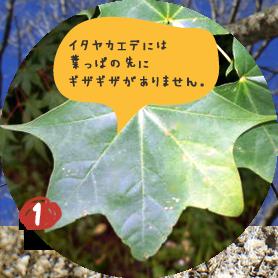 イタヤカエデの木は他のカエデの木と区別が つきにくいので、葉っぱがあるうちに 幹に目印をつけておきます。