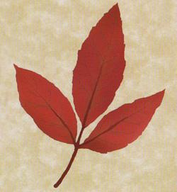 13.メグスリノキ(目薬の木)