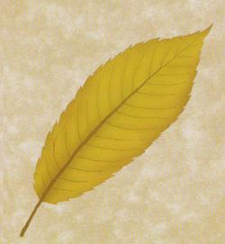 18.チドリノキ(千鳥の木)